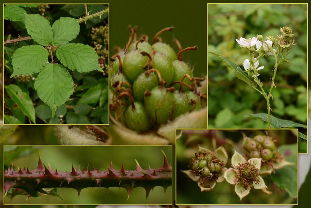 Klotornet Brombær