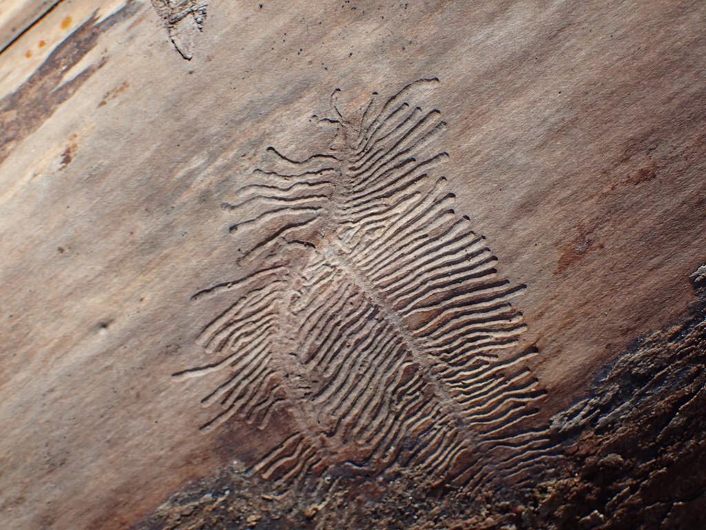 Plettet Askebarkbille (Hylensis wachtli)