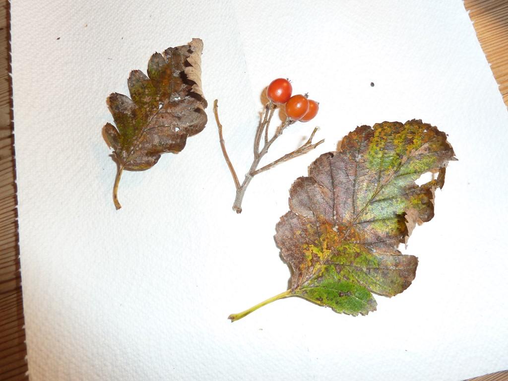 Foto/billede af Selje-Røn (Sorbus intermedia)