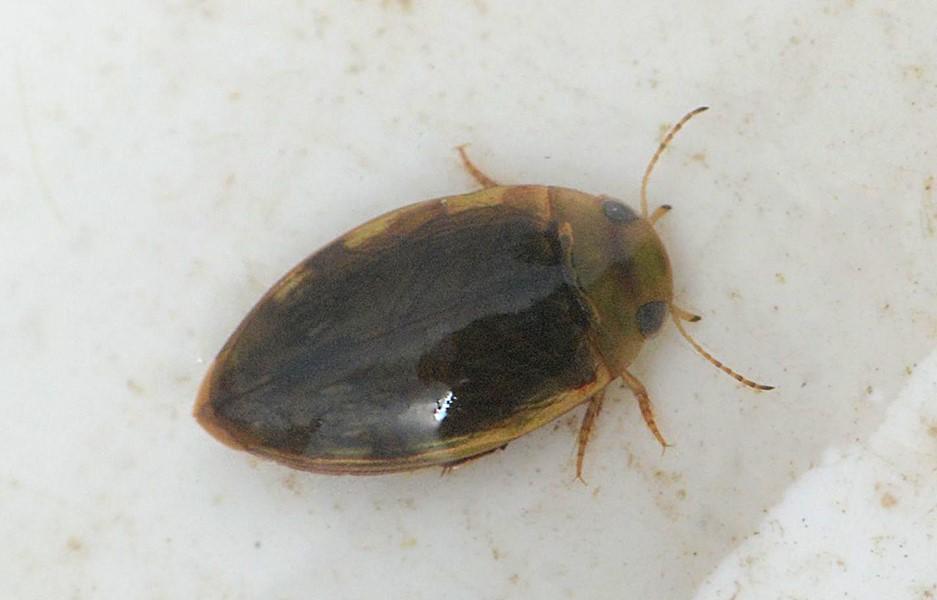 Laccophilus minutus (Laccophilus minutus)