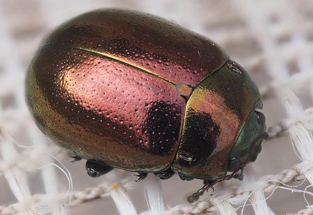 Foto/billede af Ertsfarvet Guldbille (Chrysolina brunsvicensis)