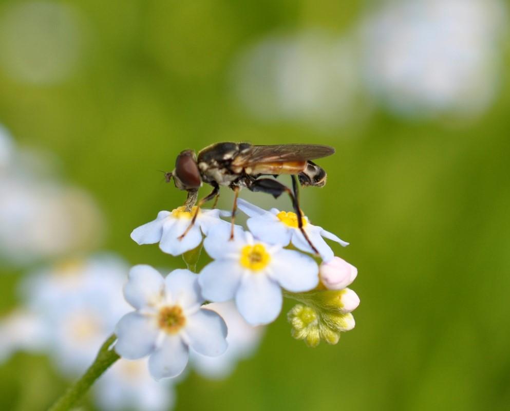 Foto/billede af Køl-Svirreflue (Tropidia scita)