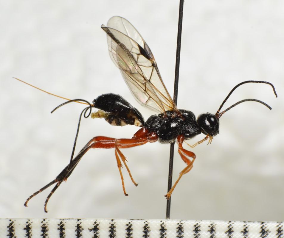 Aspigonus flavicornis