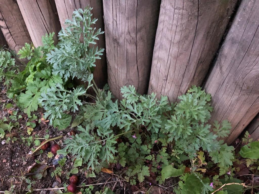 Foto/billede af Have-Malurt (Artemisia absinthium)
