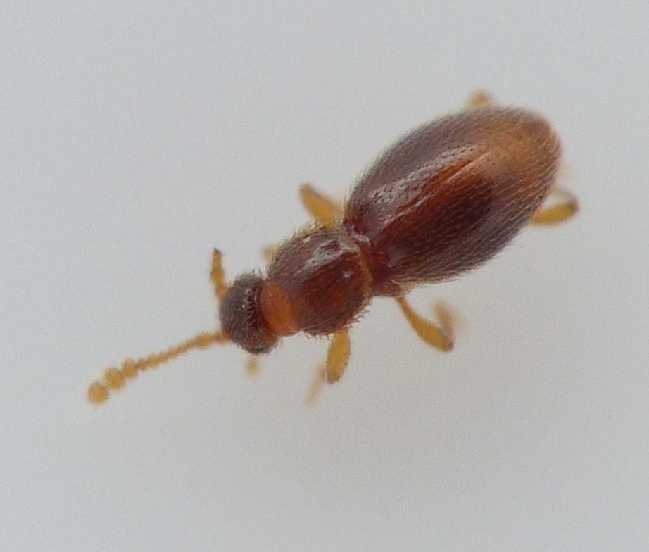 Microscydmus minimus