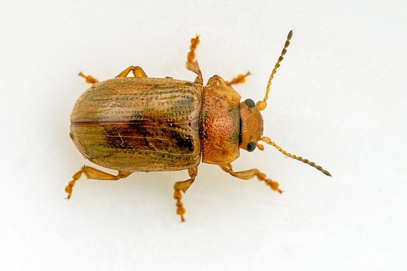 Foto/billede af Gonioctena quinquepunctata (Gonioctena quinquepunctata)