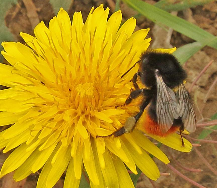 Foto/billede af Lille Skovhumle (Bombus pratorum)