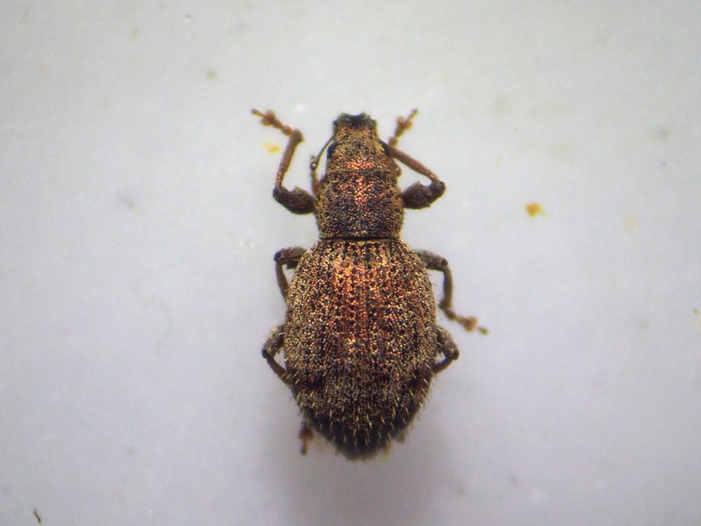 Foto/billede af Sciaphilus asperatus (Sciaphilus asperatus)