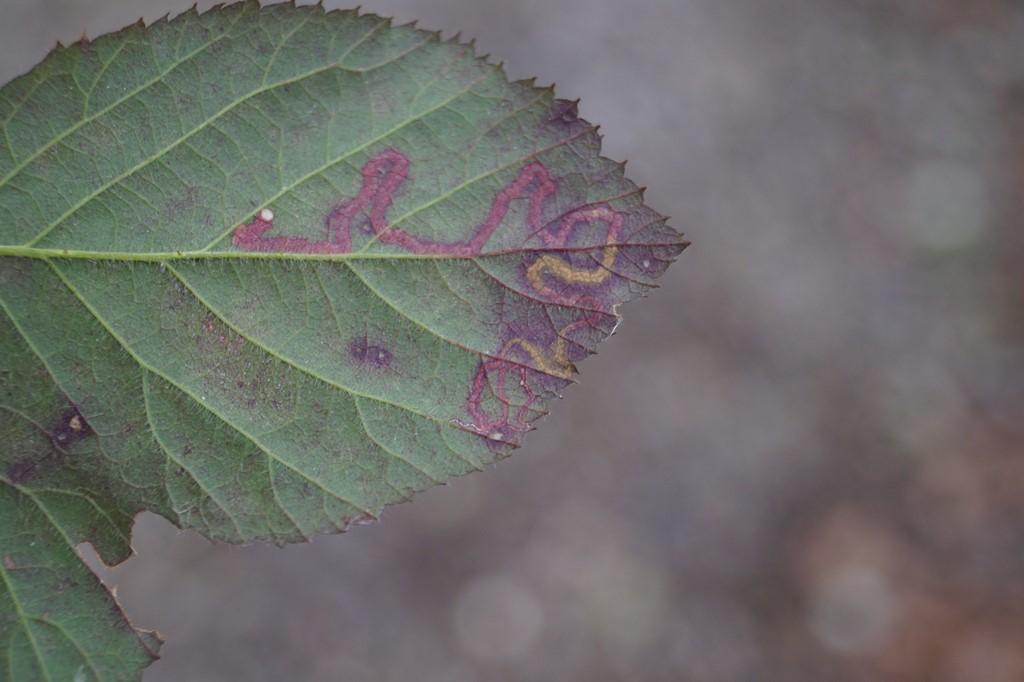 Foto/billede af Pragtdværgmøl (Stigmella splendidissimella)