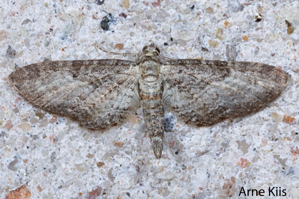 Foto/billede af Kystdværgmåler (Eupithecia subumbrata)