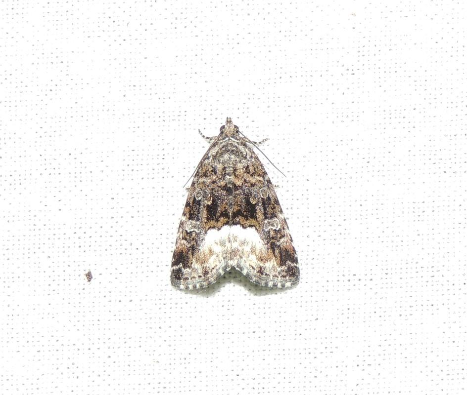 Hvidhjørnet Dagugle (Deltote pygarga)