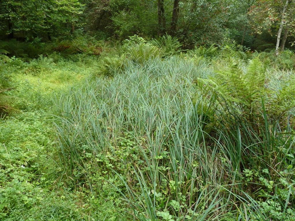 Foto/billede af Kær-Star (Carex acutiformis)