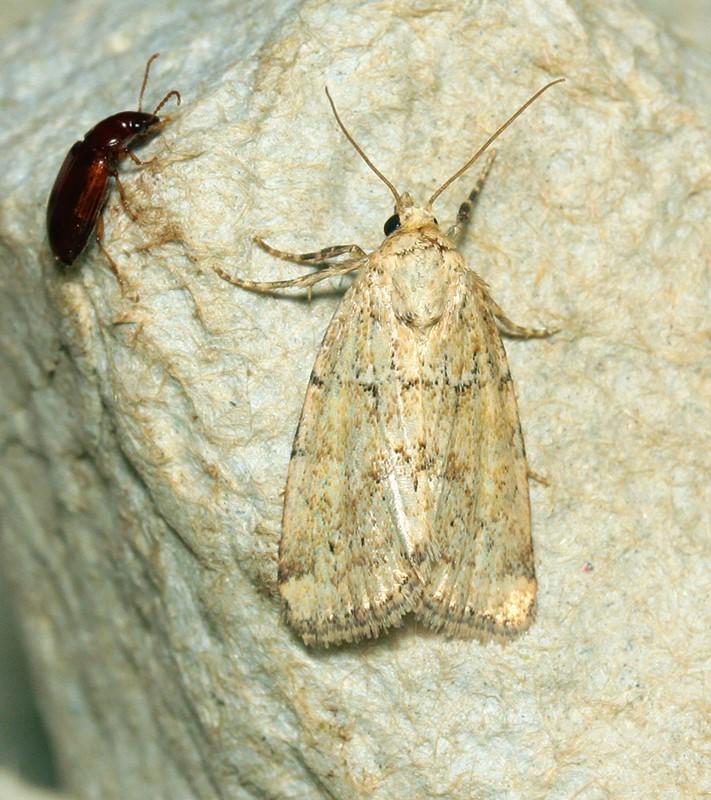 Mosebunke-Ugle (Photedes minima)
