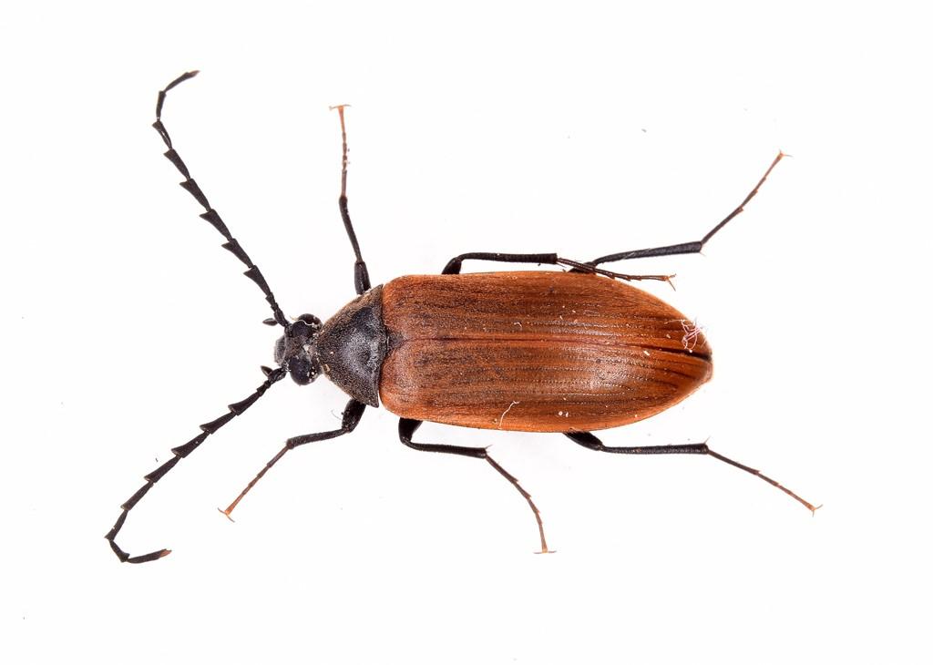 Foto/billede af Pseudocistela ceramboides (Pseudocistela ceramboides)