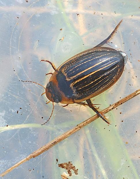 Hydaticus aruspex (Hydaticus aruspex)