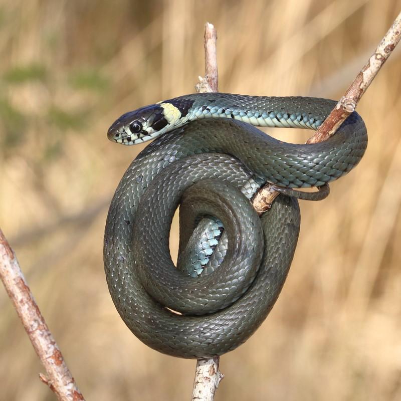 Snog (Natrix natrix)