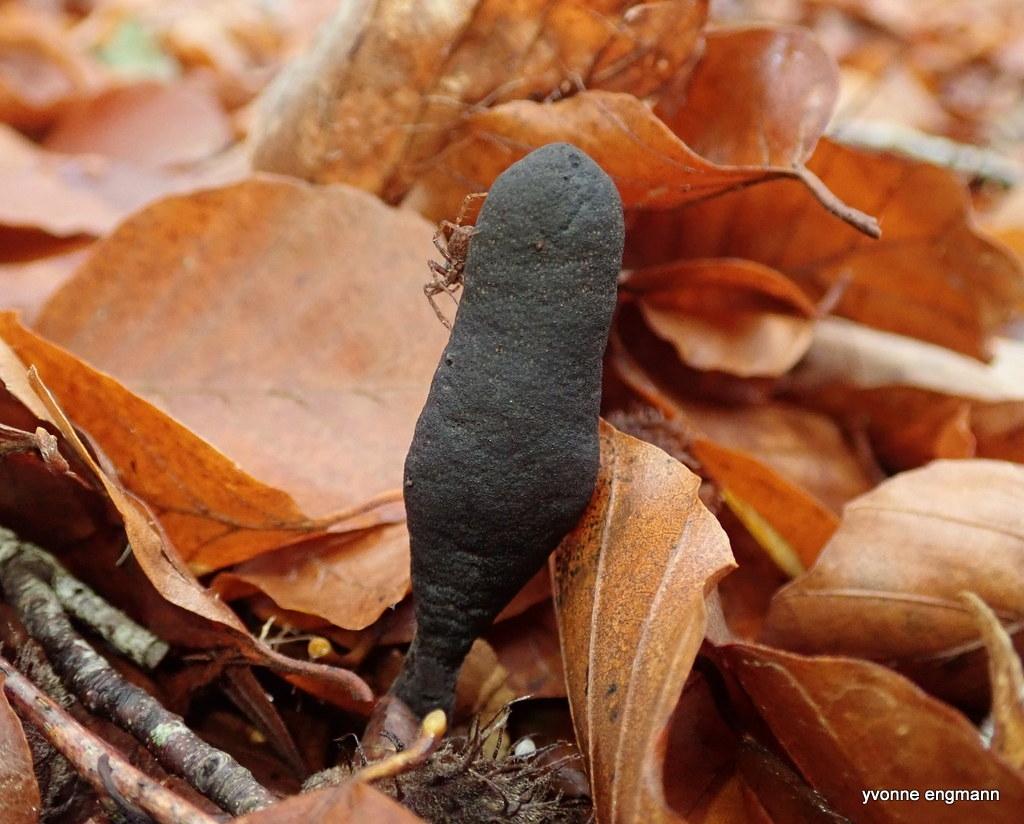 Slank Stødsvamp (Xylaria longipes)