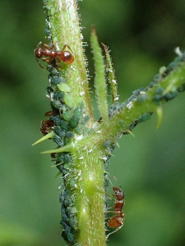Lille Brombærbladlus