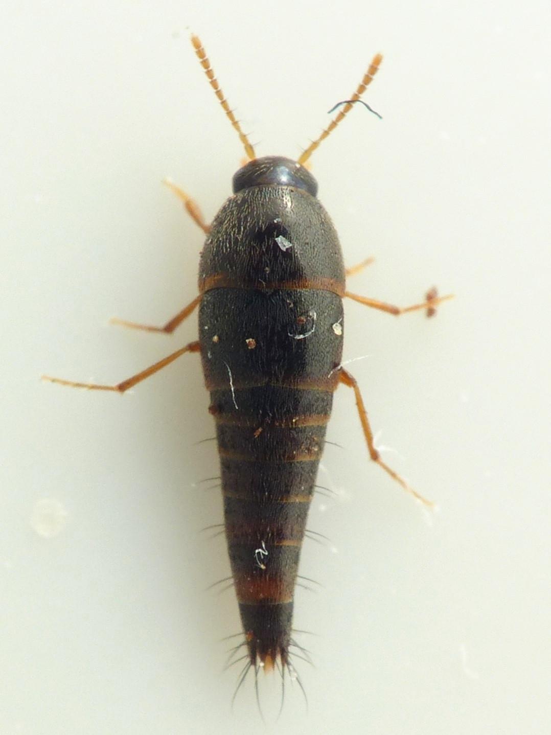 Sepedophilus pedicularius
