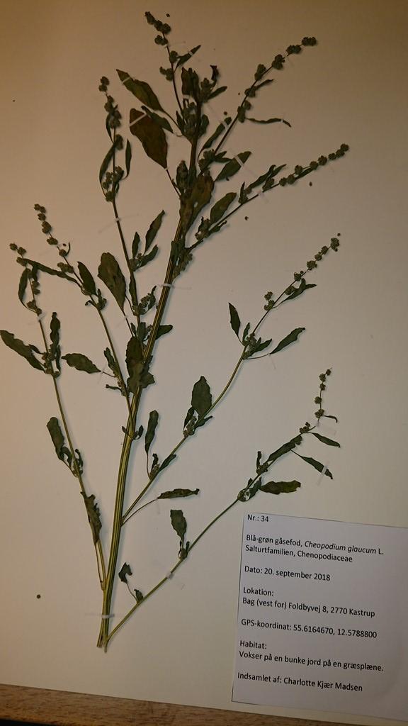 Foto/billede af Blågrøn Gåsefod (Chenopodium glaucum)