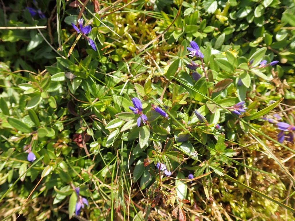 Foto/billede af Spæd Mælkeurt (Polygala serpyllifolia)