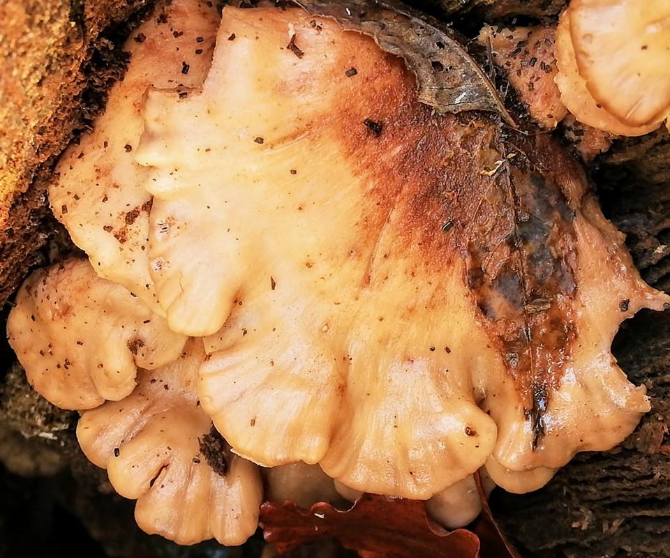 Børstehåret Savbladhat