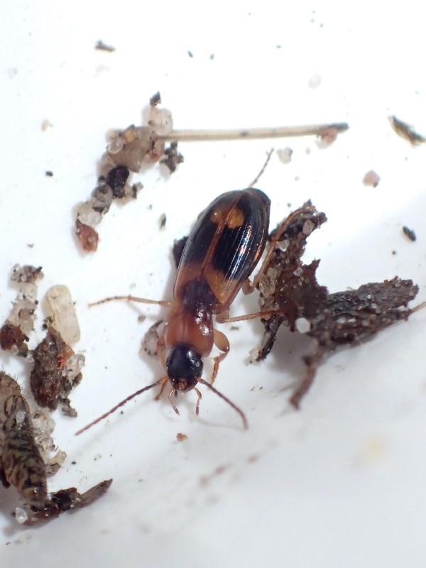 Foto/billede af Broget Sumpløber (Badister lacertosus)