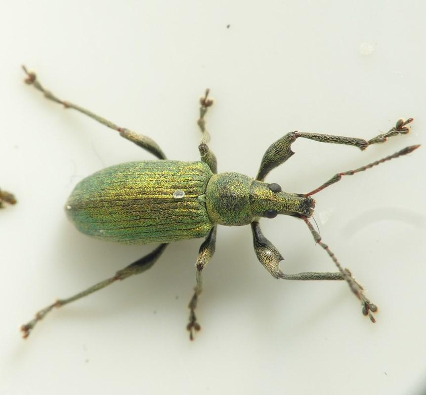 Foto/billede af Nældesnudebille (Phyllobius pomaceus)