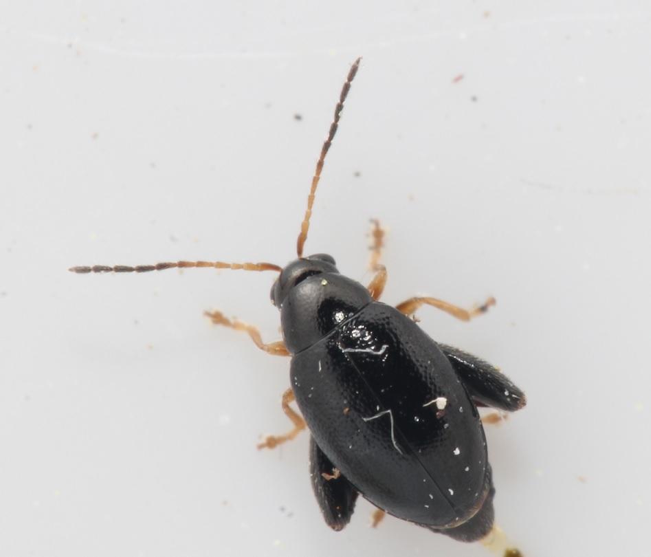 Sort Hørjordloppe (Longitarsus parvulus)