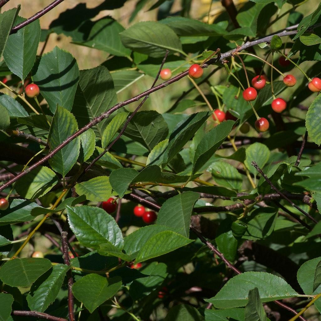Foto/billede af Sur-Kirsebær (Prunus cerasus)