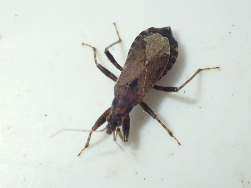 Myrenymfetæge (Himacerus mirmicoides)