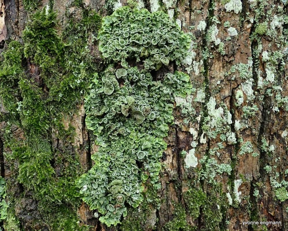 Foto/billede af Stor Skållav (Pleurosticta acetabulum)