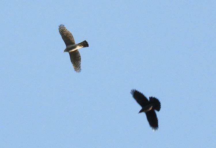 Foto/billede af Krage sp. (Corvus corone/cornix)