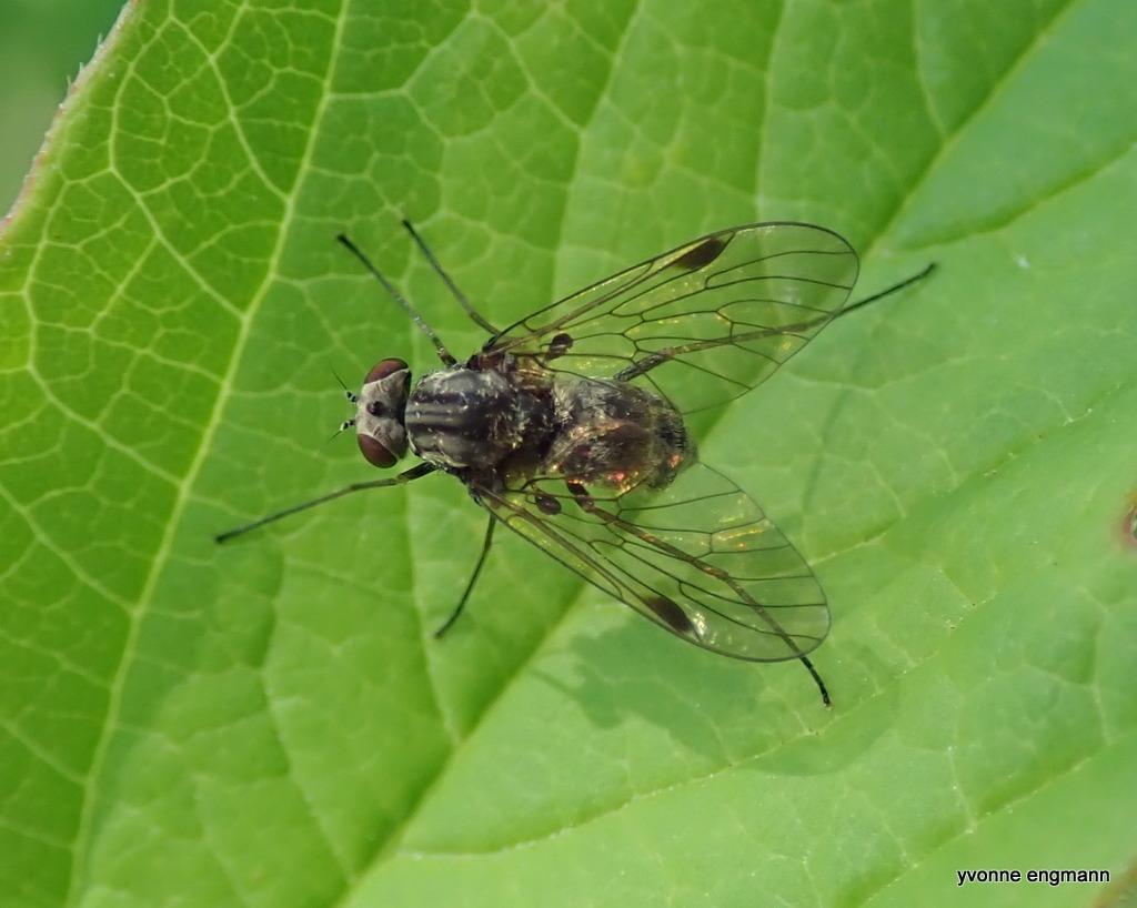 Gulhåret Sneppeflue (Chrysopilus cristatus)