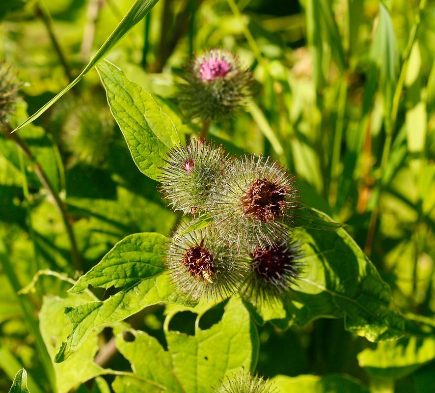 Foto/billede af Burre sp. (Arctium sp.)