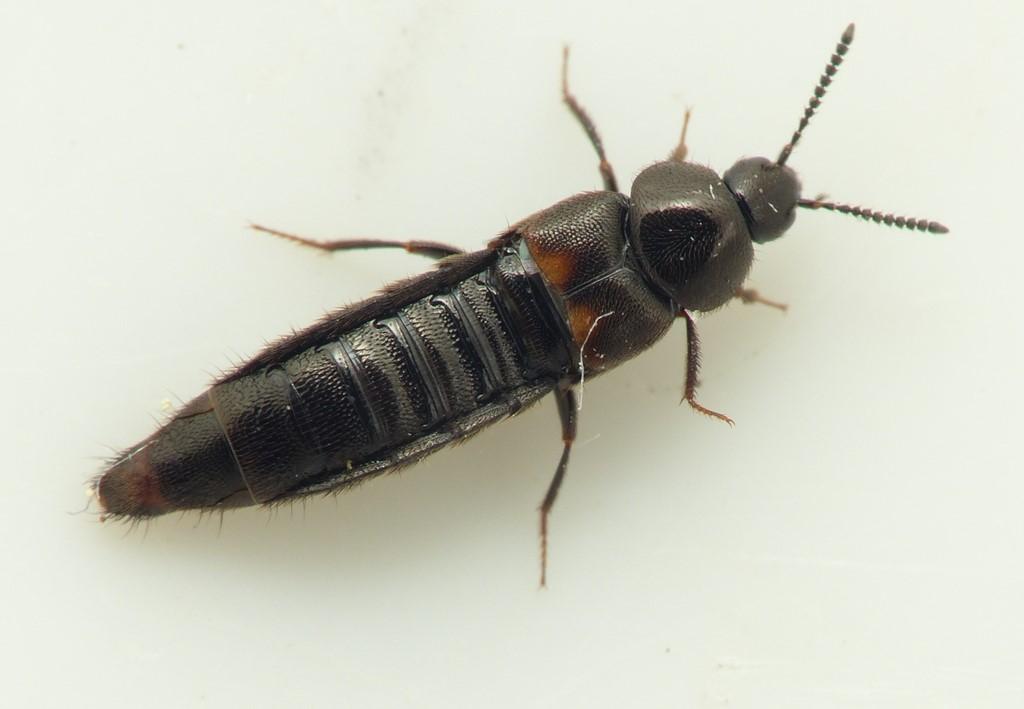 Aleochara tristis (Aleochara tristis)