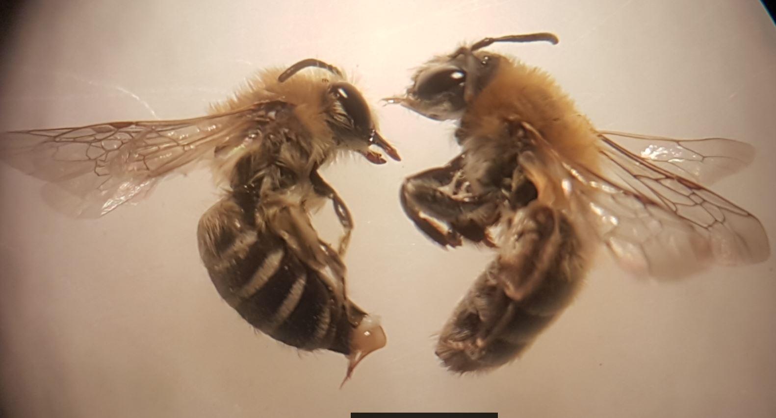 Foto/billede af Lyngjordbi (Andrena fuscipes)