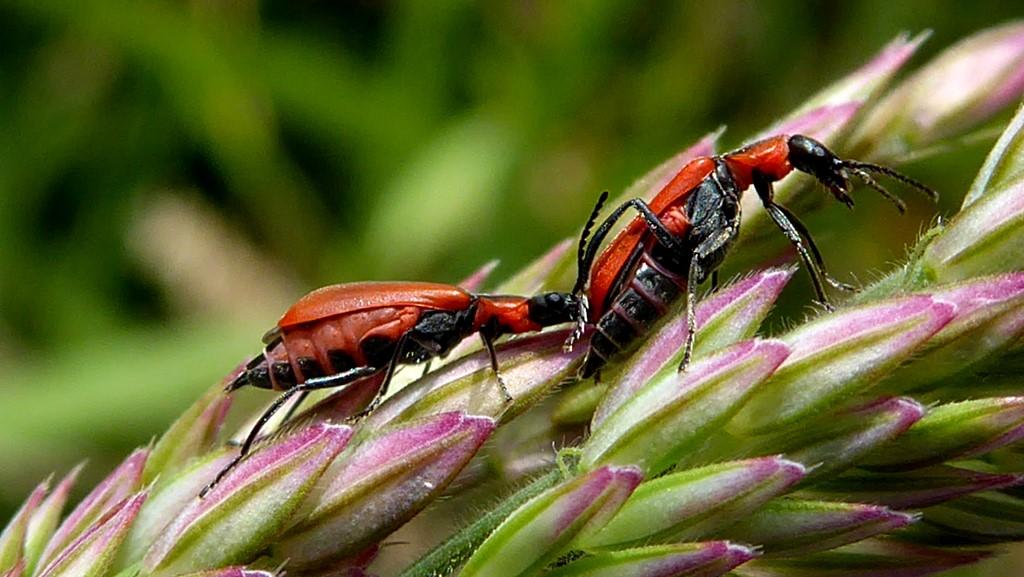 Foto/billede af Rød Malakitbille (Anthocomus rufus)