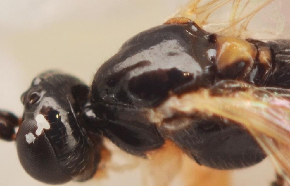 Polysphincta boops