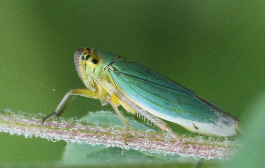 Grøn Sumpcikade (Cicadella viridis)