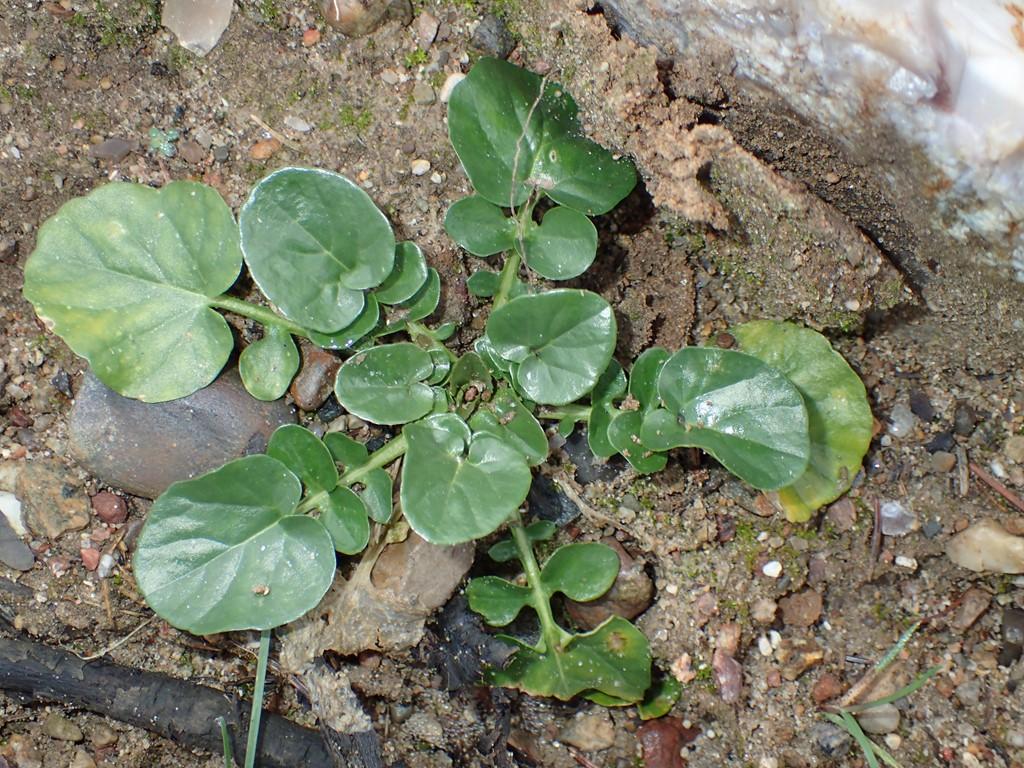 Foto/billede af Udspærret Vinterkarse (Barbarea vulgaris var. arcuata)
