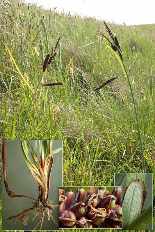 Foto/billede af Blågrøn Star (Carex flacca)