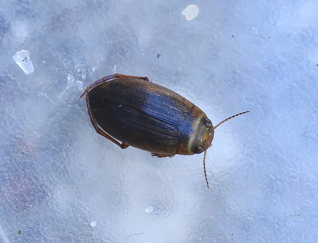 Hygrotus impressopunctatus (Hygrotus impressopunctatus)