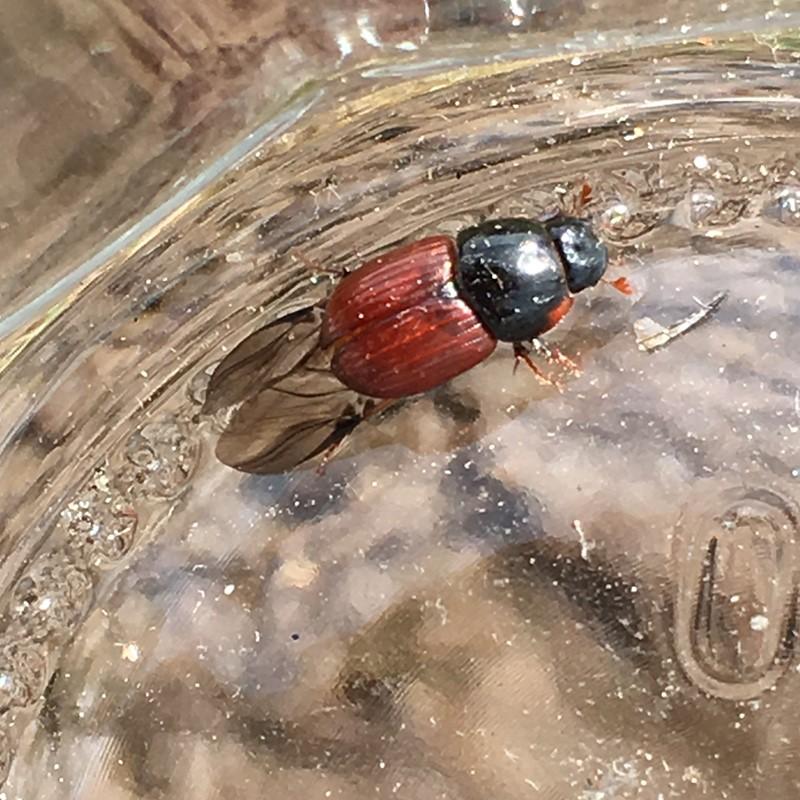 Foto/billede af Rødbuget Møgbille (Aphodius foetens)