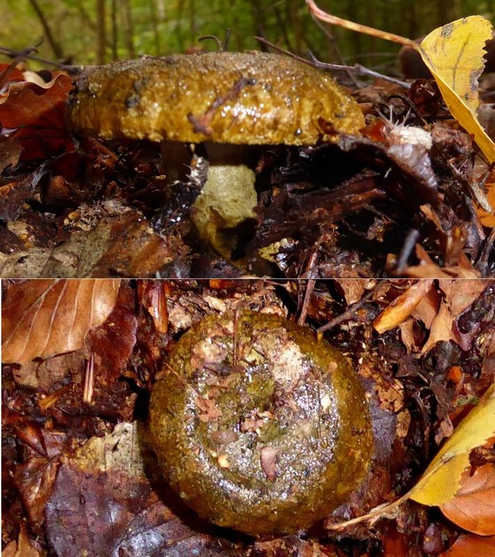Foto/billede af Olivenbrun Mælkehat (Lactarius necator)