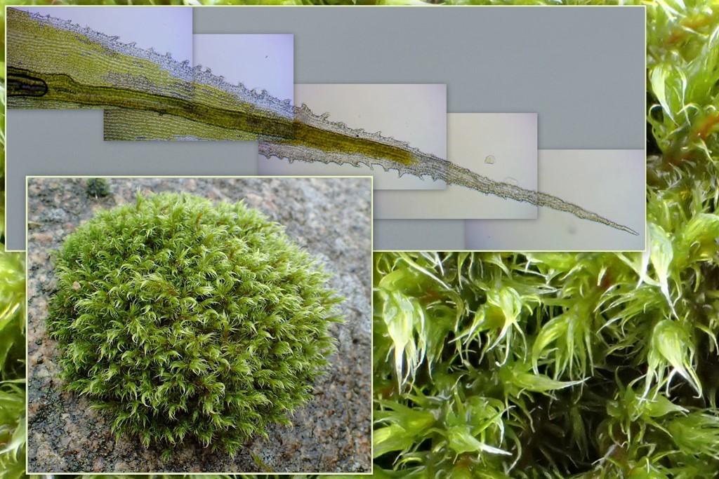 Foto/billede af Stor Børstemos (Racomitrium lanuginosum)
