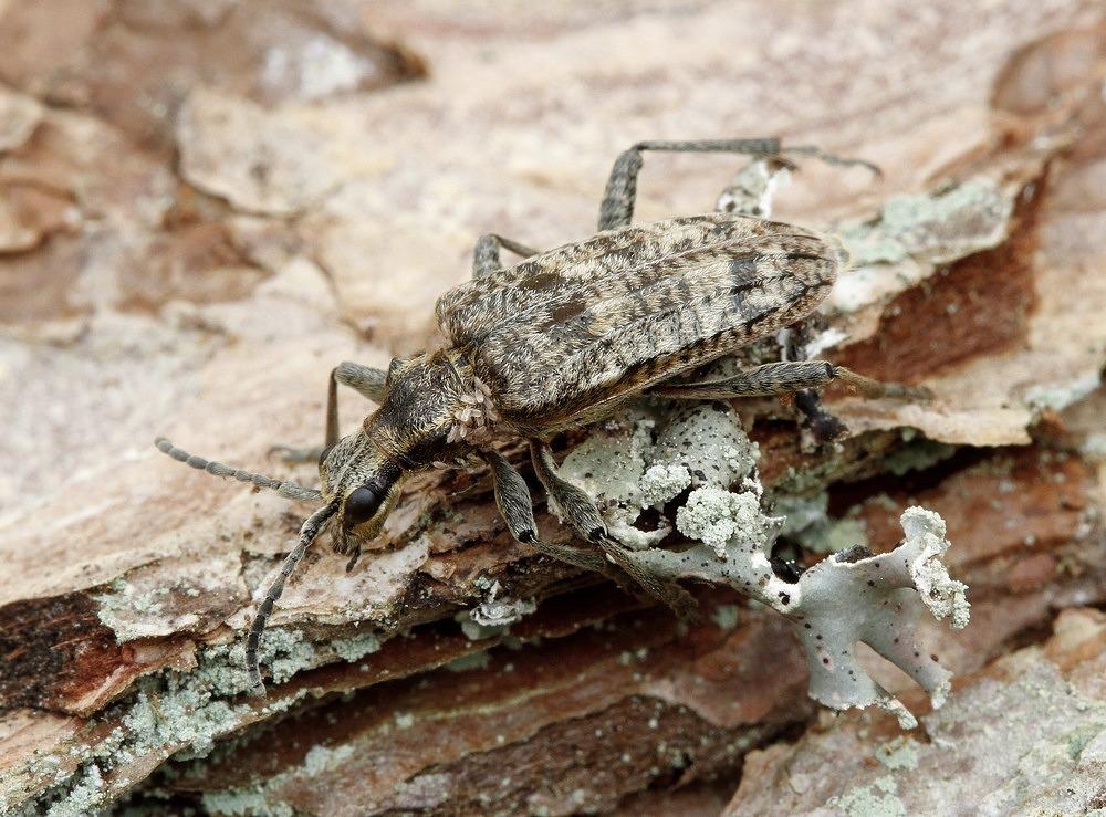 Fyrretandbuk (Rhagium inquisitor)