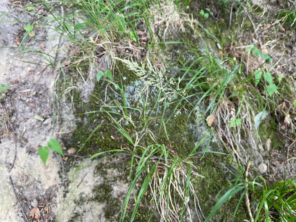 Skov-Rørhvene