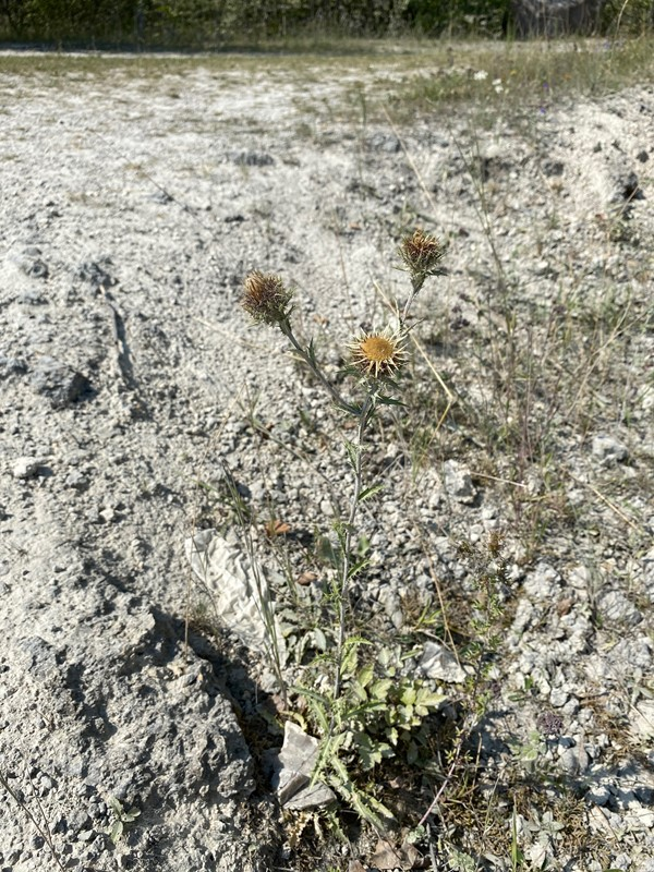 Langbladet Bakketidsel (Carlina biebersteinii ssp. biebersteinii)