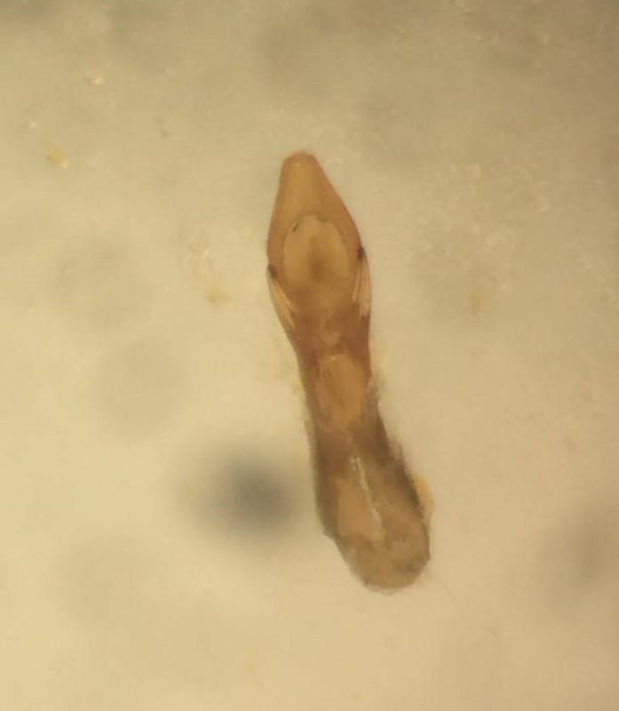 Philonthus micantoides (Philonthus micantoides)